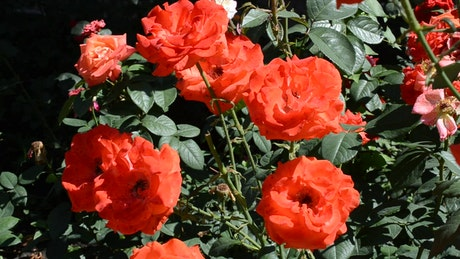 Roses blowing in a gentle breeze