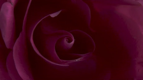 Rotating pink rose