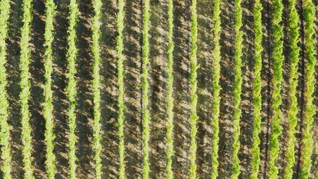 Rows of crops in a vineyard