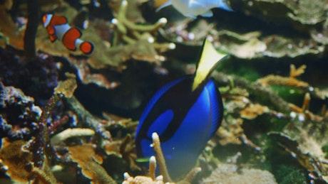 Royal blue tang fish swim in coral reef