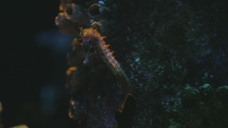 Sea Horse swimming gently