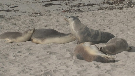 Sea Lions sleeping in the sand