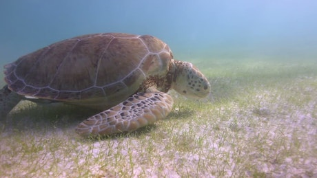 Sea turtle feeding on the seabed