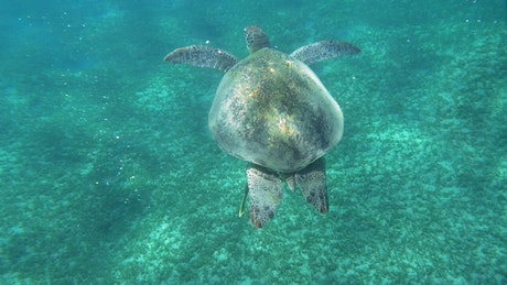 Sea Turtle swimming in a clear bay