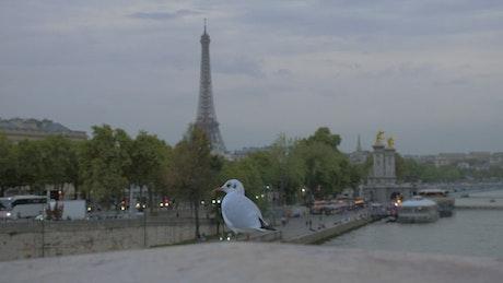 Seagull in Paris