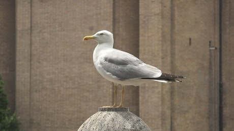 Seagull standing on a concrete ball