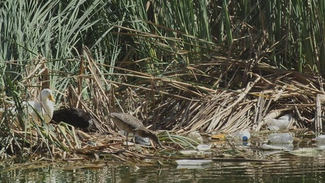 Seagulls and ducks in a river polluted with garbage