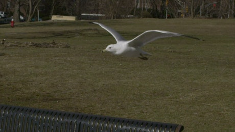 Seagulls fighting in a park