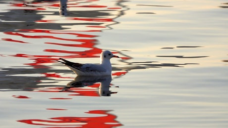 Seagulls floating in the calm water