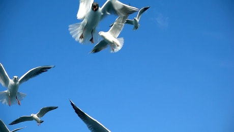 Seagulls fly trying to catch food
