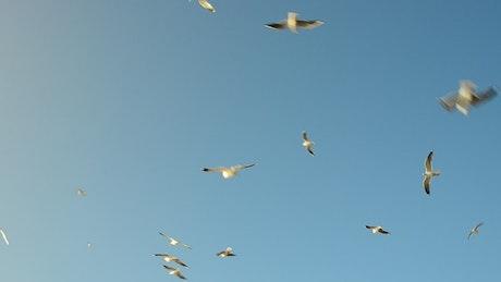 Seagulls flying around a feeding area
