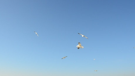 Seagulls flying in the clear sky