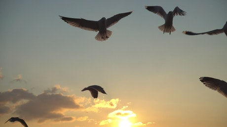 Seagulls flying over the sky at sunset