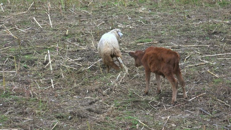Sheep and calf fighting in the field