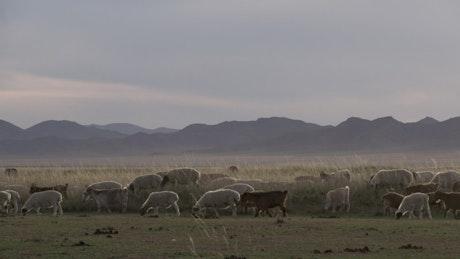 Sheep and goats walking through grass field