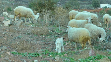 Sheep and lambs in the countryside