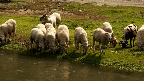 Sheep drink and feed by a river