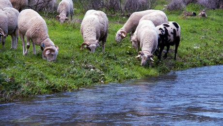 Sheep eating grass on the bank of a river