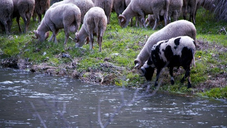Sheep grazing by a river