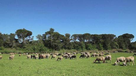 Sheep grazing on the farm