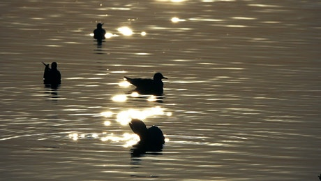 Silhouette of ducks in the water at dusk