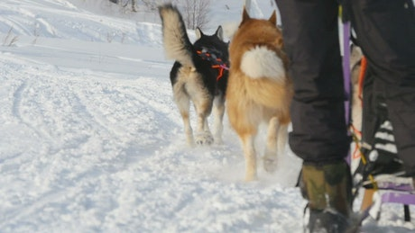 Sled dogs pulling in the snow