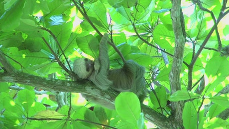 Sloth high up in a tree