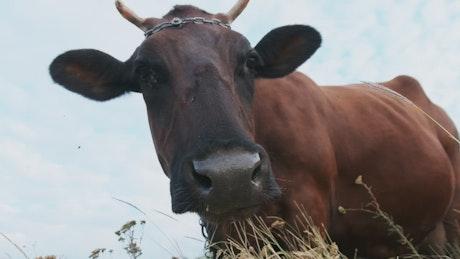 Slow motion portrait of a cow grazing