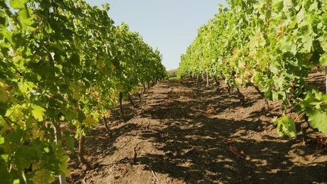 Slowly moving through a vineyard