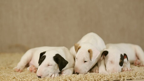 Small puppies of the Bull Terrier breed on a carpet
