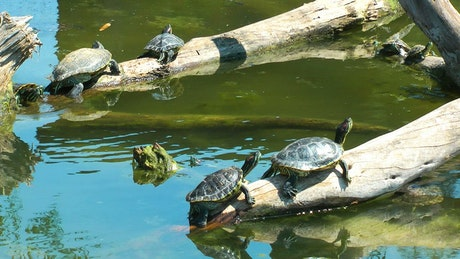 Small turtles basking in the sun