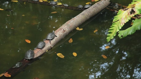 Small turtles resting on a log in a pond