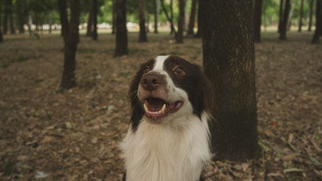 Smiling dog in a forest