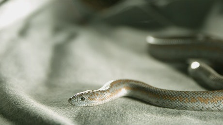 Snake over a fabric in slow-motion