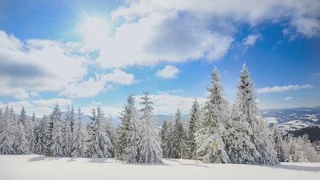 白雪皑皑的松树在晴朗的一天