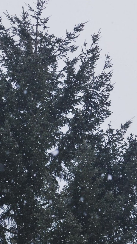 Snow falling in a pine forest