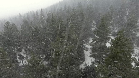 Snowstorm above the pine forest