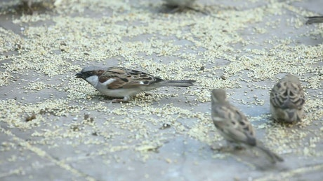 Sparrows eating in the ground