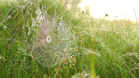 Spider web in the tall grass