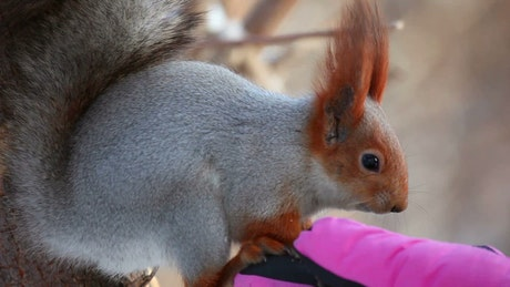 Squirrel eating on a hand with a pink glove