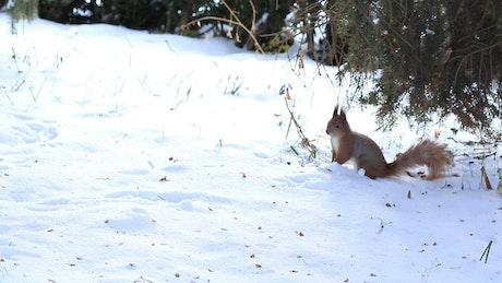 Squirrel exploring the snow