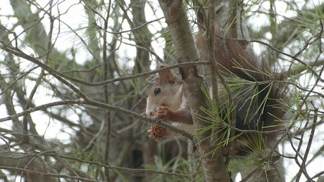 Squirrel in a tree eating a pinecone