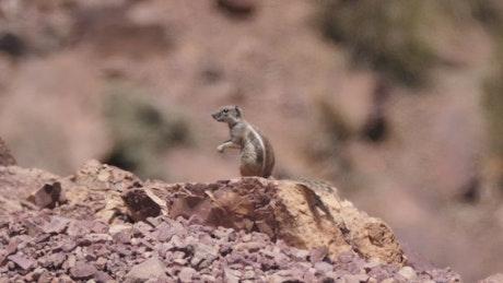 Squirrel in the sahara desert
