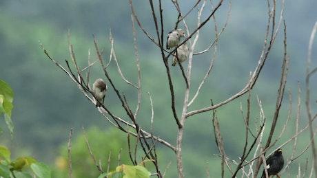 Starlings in Malaysia