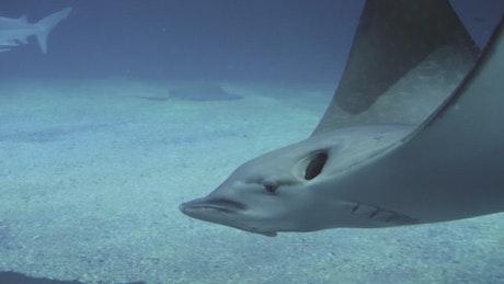 Stingrays and sharks swimming
