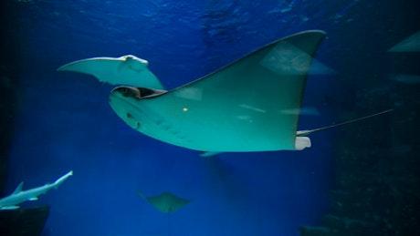 Stingrays swimming underwater