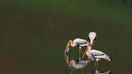 Stork eating a fish