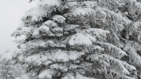 Strong winter in a forest full of frozen pines
