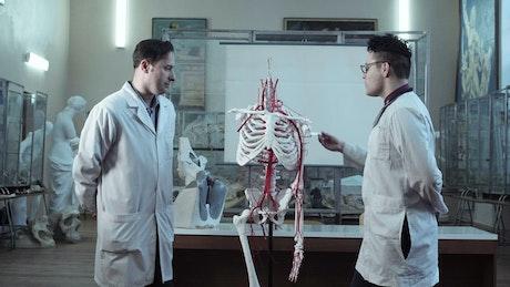 Studying human anatomy with dummy skeleton