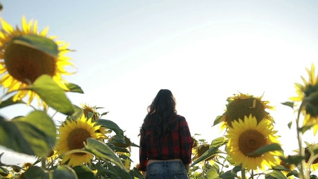 Summer Sunflower fields